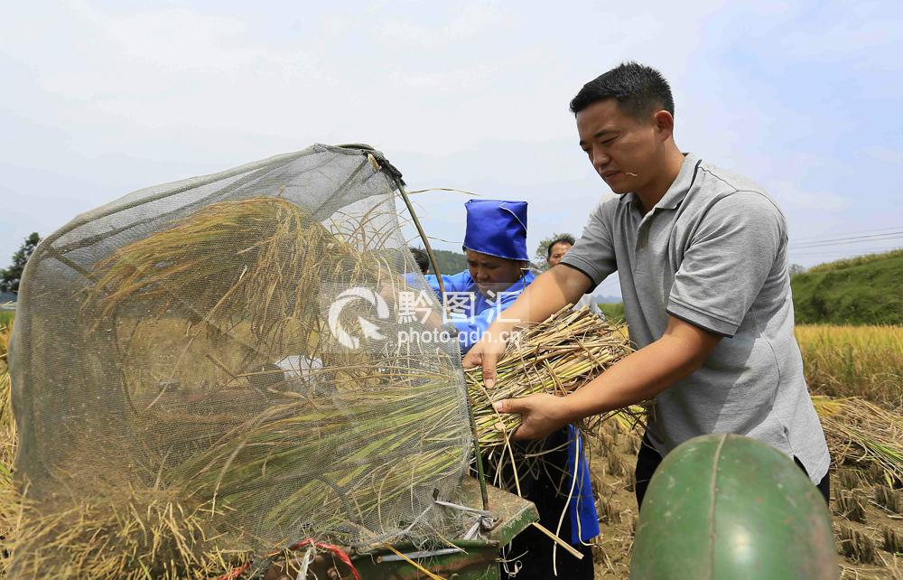 9月15日,丹寨县扬武镇羊排村,一名村干部正在帮助留守村民给稻谷脱粒。