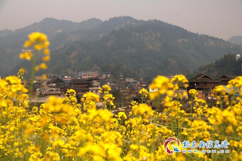 油菜花开绕侗寨