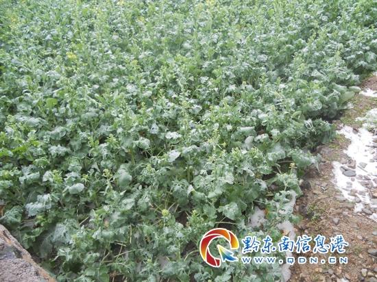 黄平县旧州镇部分村遭受冰雹灾害(图)