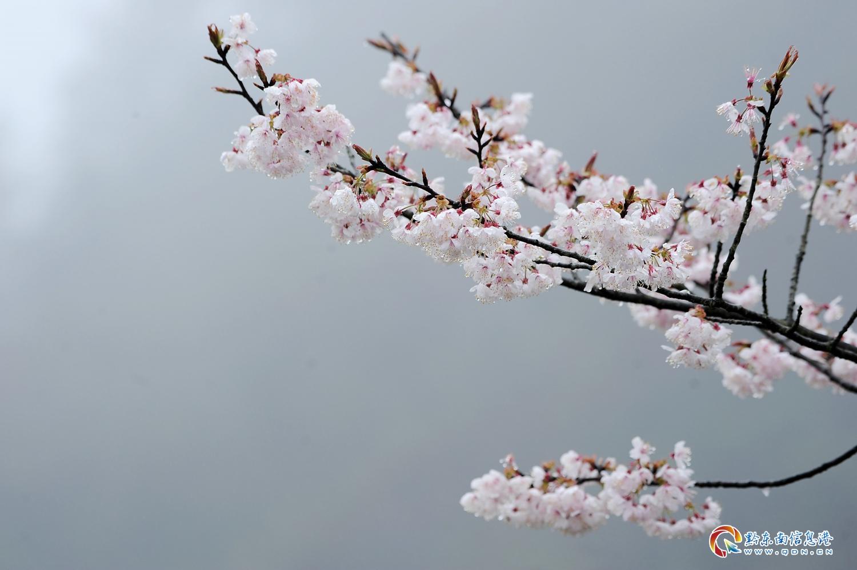 3月12日,丹寨县龙泉镇排牙村,盛开的野樱桃花。