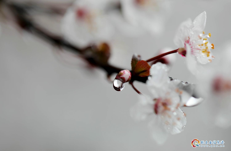 3月12日,丹寨县县城内,盛开的红叶李花。