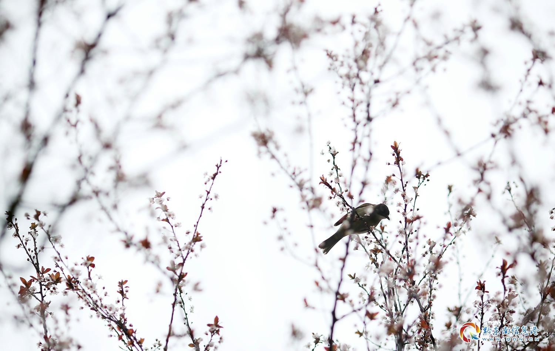3月12日,丹寨县县城内,一只鸟儿在盛开的红叶李花中栖息。
