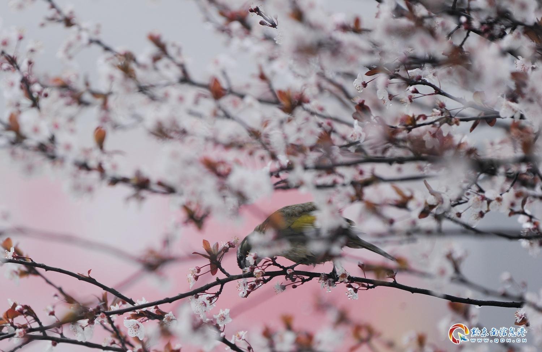 3月12日,丹寨县县城内,一只鸟在啄食红叶李花